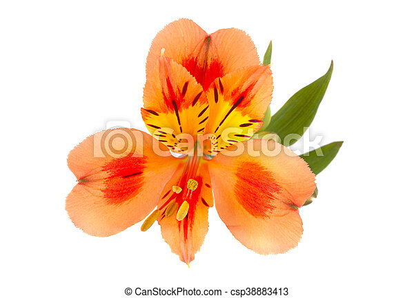 Orange alstroemeria flower head closeup isolated on white stock orange alstroemeria flower head csp38883413 mightylinksfo Gallery