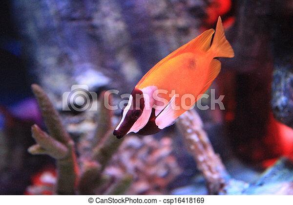 Orange And Black Aquarium Fish Fancy Orange Fish With Black And