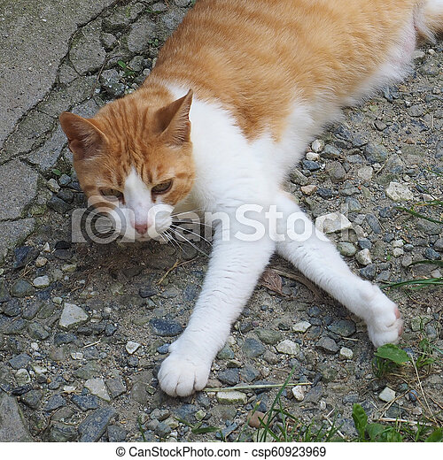 Orange And White Tabby Cat Orange And White Domestic Tabby Cat Domesticated Housecat Canstock