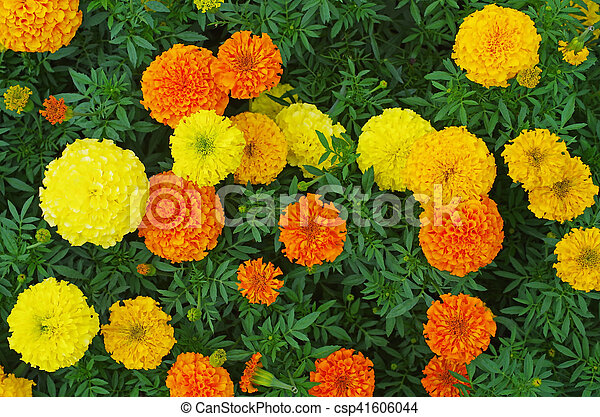 Top view of orange and yellow colored marigold flowers orange and yellow colored marigold flowers csp41606044 mightylinksfo