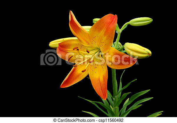 Orange and Yellow Daffodil - csp11560492