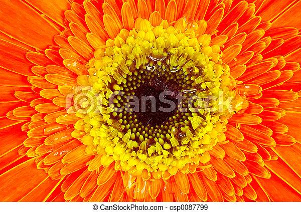 Orange and Yellow Flower - csp0087799