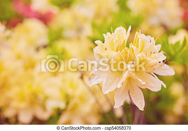Orange And Yellow Rhododendron Flowers Blooming Outdoors In The