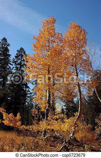 Orange Aspen Trees - csp0723679