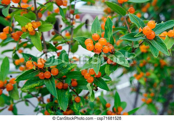 Orange Berries On A Honeysuckle Bush In The Garden Orange Berries