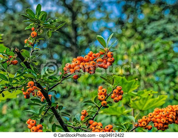 Orange Berries On A Tree Orange Berries Hang On A Tree In Forest
