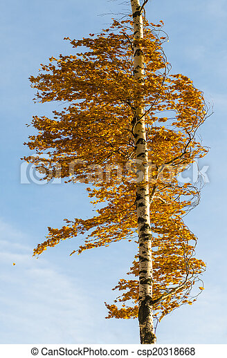 Orange birch tree - csp20318668