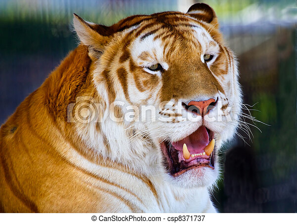 Orange Black Bengal Tiger Licking Yawning Showing Teelth - csp8371737