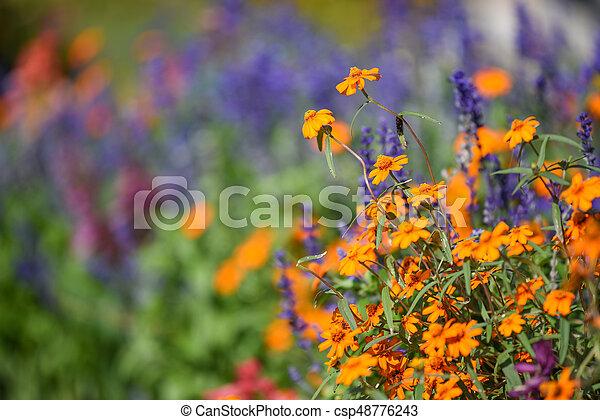 orange cosmos flower in the garden - csp48776243
