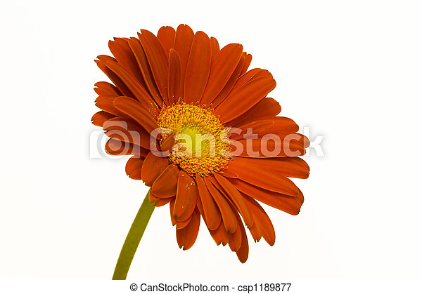 Orange Daisy - csp1189877