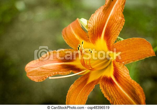 Orange day lily flower closeup - csp48396519