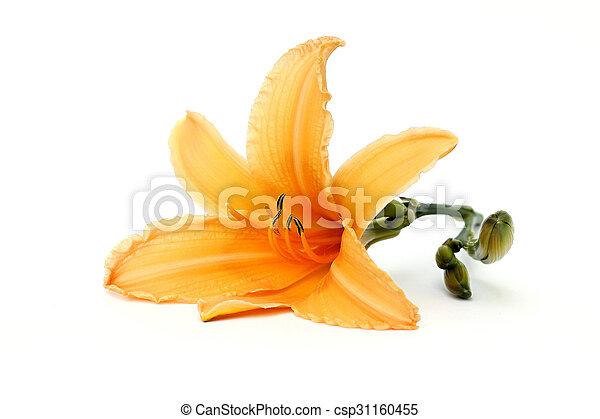 orange, daylily - csp31160455