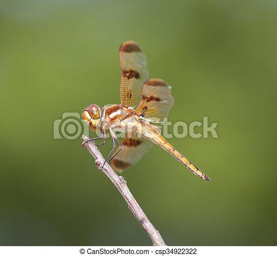 Orange dragonfly - csp34922322