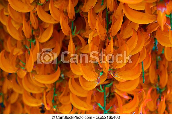 Orange flower of name red jade vine or new guinea creeper or orange flower of name red jade vine or new guinea creeper or flowers csp52165463 mightylinksfo