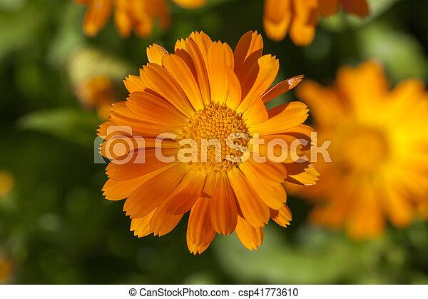 Orange flowers of calendula photographed close up of orange orange flowers of calendula csp41773610 mightylinksfo