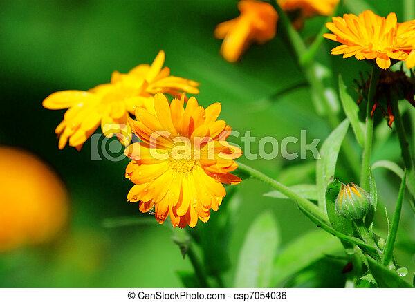 Orange flowers with raindrops - csp7054036