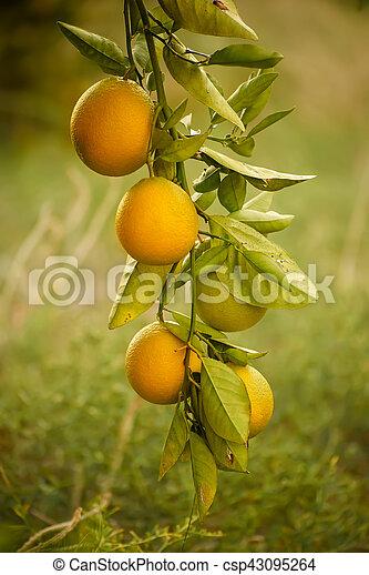 Orange garden with fruit - csp43095264