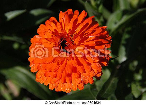 Orange gerbera - csp2694634