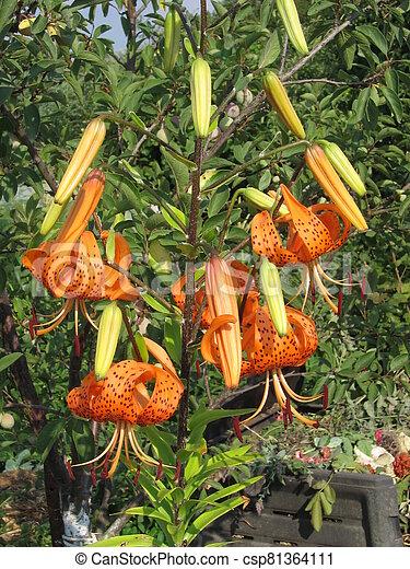 orange lilies in a garden - csp81364111