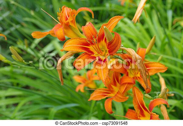 Orange lilies in a spring garden closeup - csp73091548