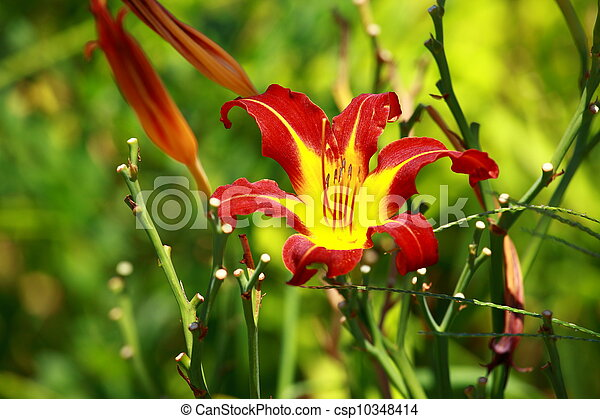 Orange Lily Blooming in a Sunny Garden - csp10348414