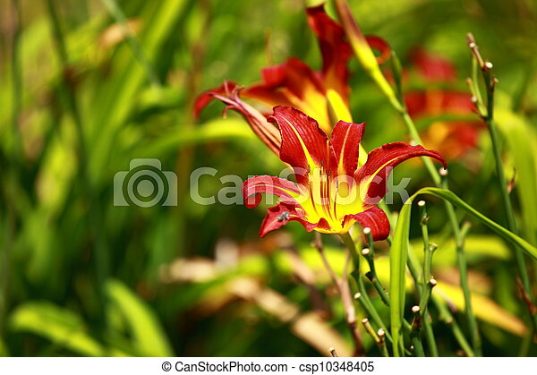 Orange Lily Blooming in a Sunny Garden - csp10348405