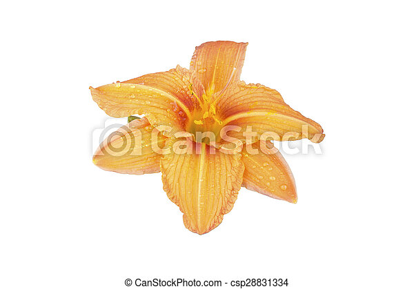 Orange lily flower on white - csp28831334