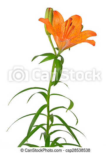 Orange lily flower - csp28538538