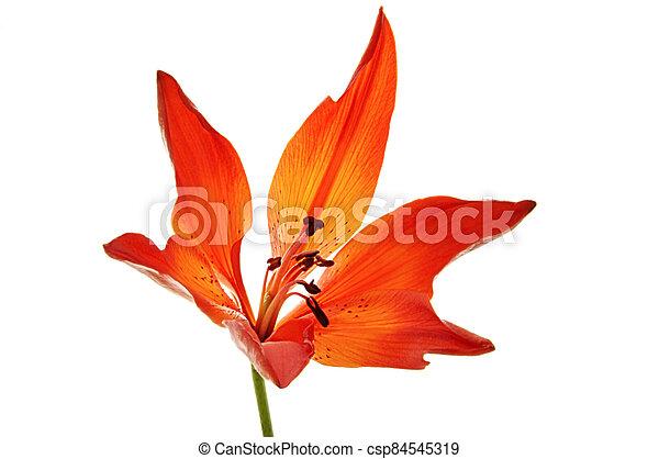 Orange lily on white isolated background - csp84545319
