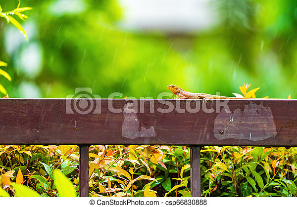 Orange lizard on the steel fence in the falling rain with blur green background. - csp66830888