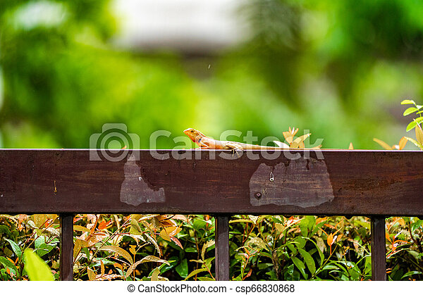 Orange lizard on the steel fence in the falling rain with blur green background. - csp66830868