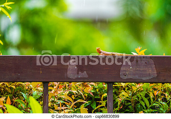 Orange lizard on the steel fence in the falling rain with blur green background. - csp66830899