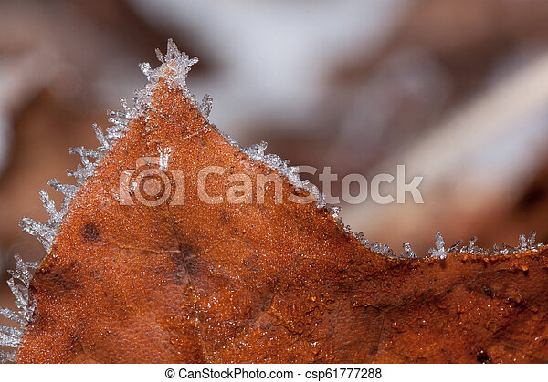 Orange maple leaf covered with hoarfrost. Close up. - csp61777288