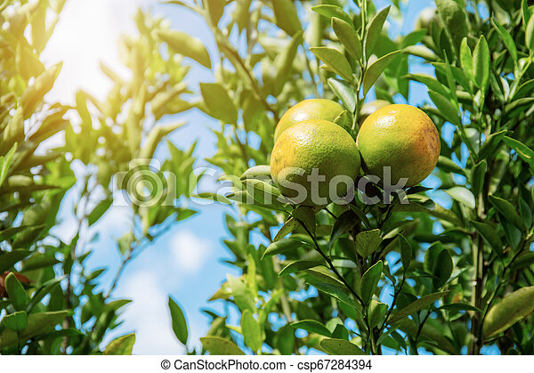 Orange on tree with sunlight. - csp67284394