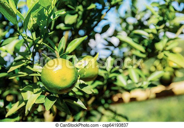 Orange on tree with sunlight. - csp64193837