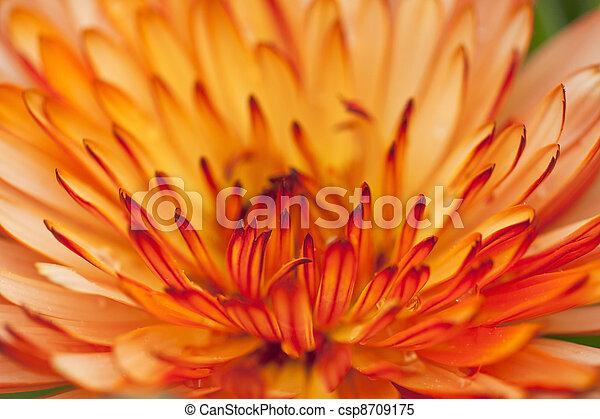 orange, pétales, fond - csp8709175