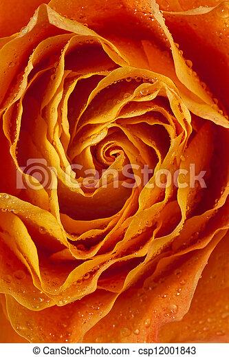 orange, pétales, rose - csp12001843