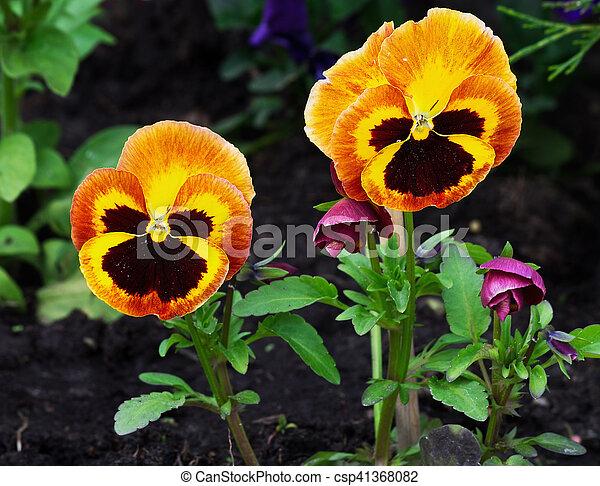 Orange Pensees Fleur Fleur Pensees Deux Lit Closeup