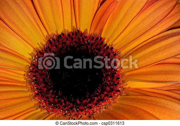 orange, petals-1 - csp0311613