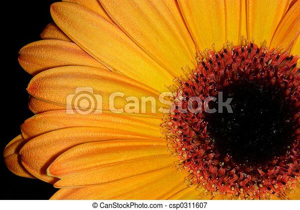 orange, petals-2 - csp0311607