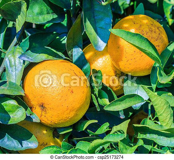 Orange - csp25173274