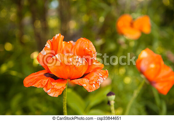 orange poppies blooming in the garden - csp33844651