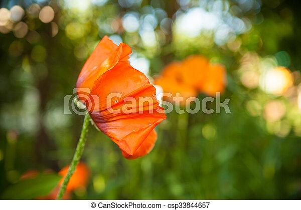 orange poppies blooming in the garden - csp33844657