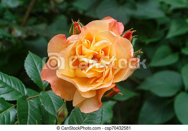 orange rose in a garden - csp70432581