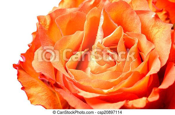 Orange rose petals - csp20897114