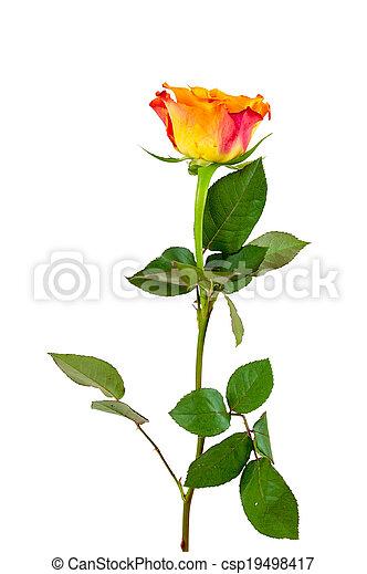 Orange rose, weiße blume, hintergrund. Ausschnitt, blume ...