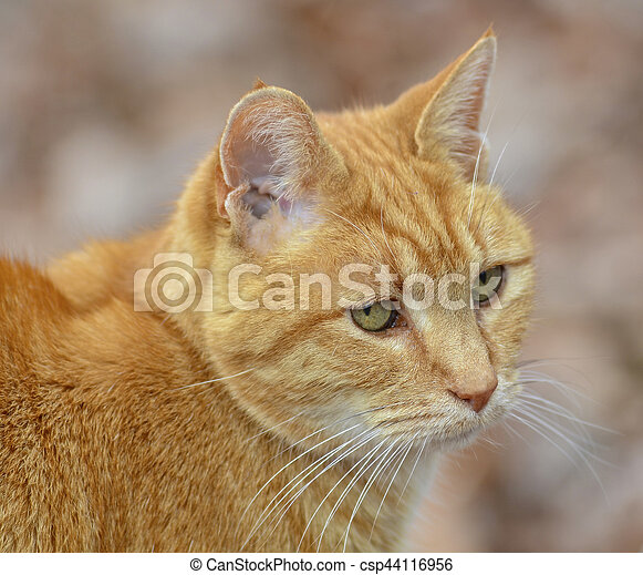 Orange Tabby Cat Expression - csp44116956