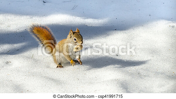orange tail, Red squirrel on Springtime corn snow looking for num nums to eat in corn snow of Northern Ontario woodland. - csp41991715