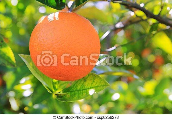 orange tangerine tree fruits green leaves - csp6256273