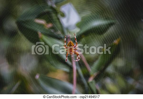 orange, toile, centre, macro, araignés - csp21494517